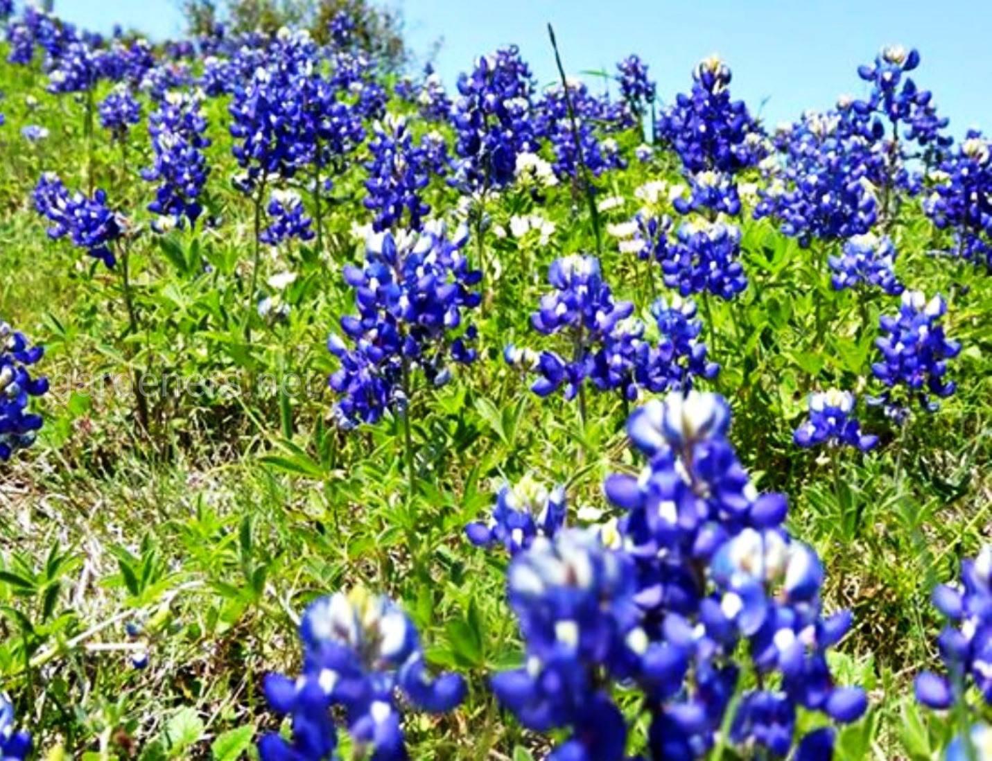 Texas Bluebonnets.jpg