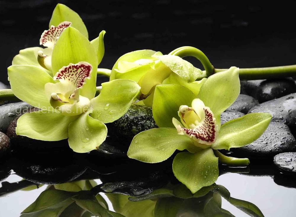 Орхидея Shenzhen Nongke