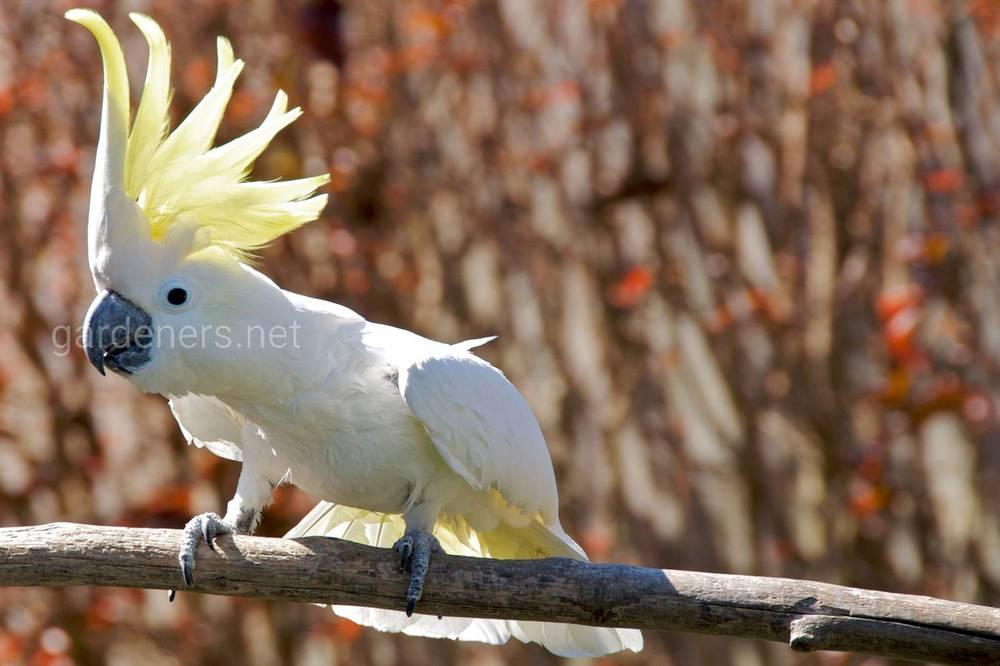Попугаи породы какаду