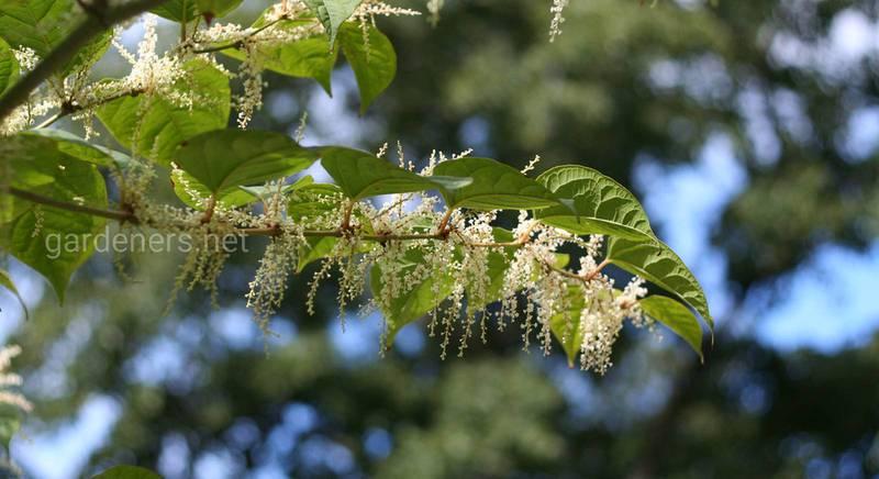 Рейнутрия (горец): уход и контроль непослушного растения