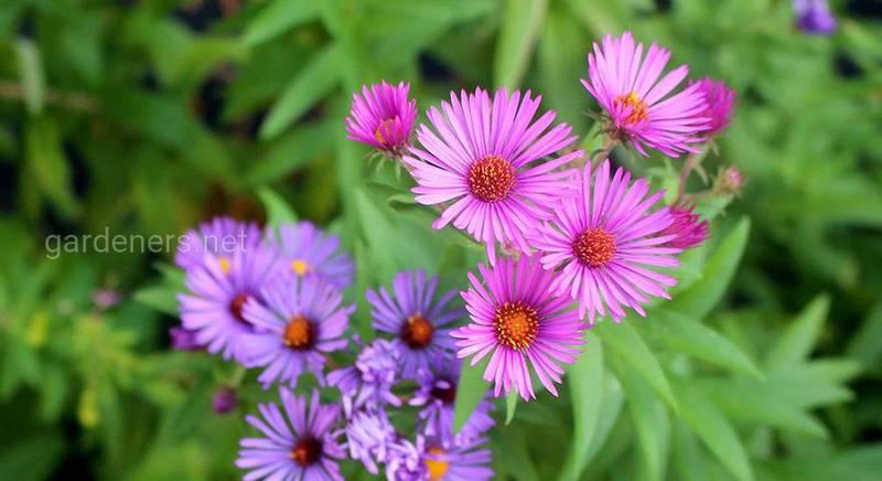 Американська або новоанглійська айстра - кущова красуня з неймовірною красою цвітіння