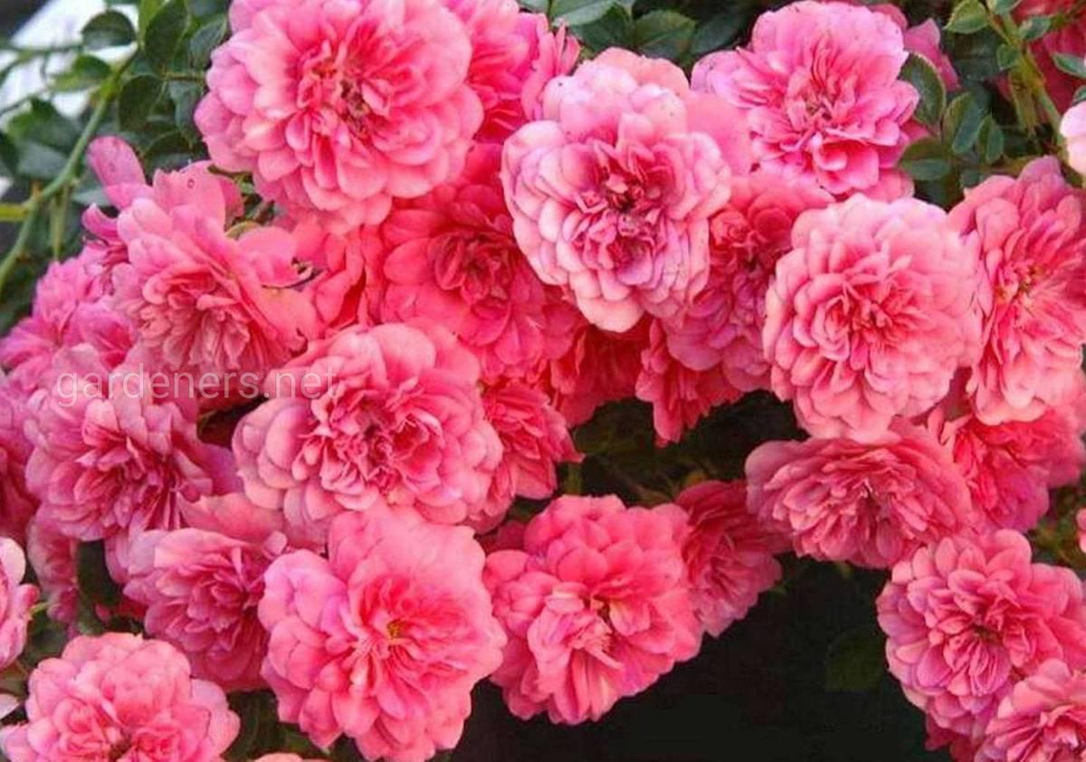 Сорт штамбовой розы  Книрпс