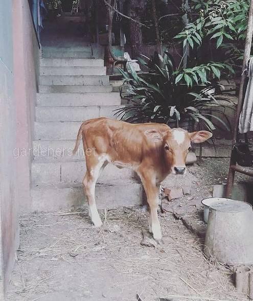 Вечур порода коров