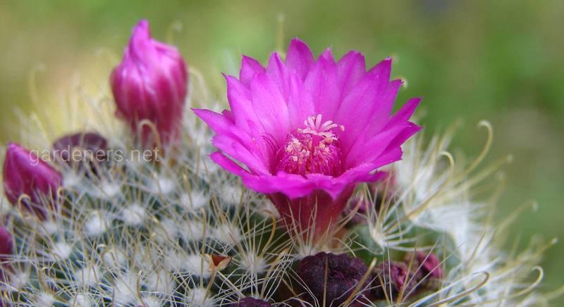 Популярні кактуси з красивими квітками