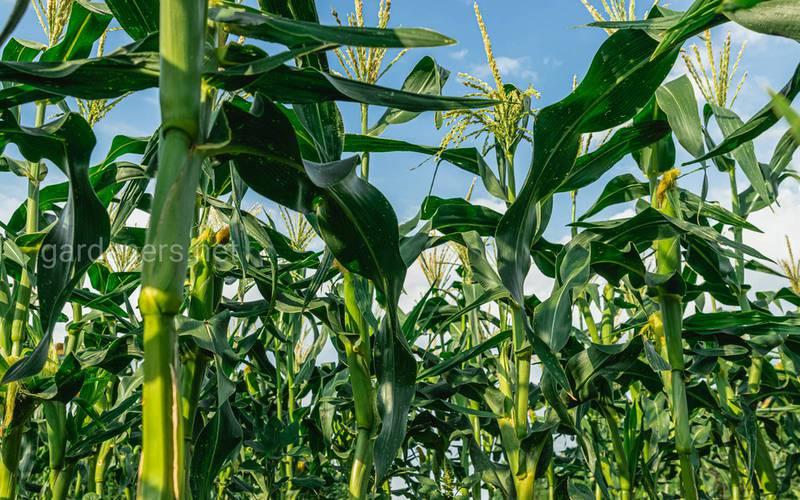 Як та коли проводити міжрядне вирощування кукурудзи?