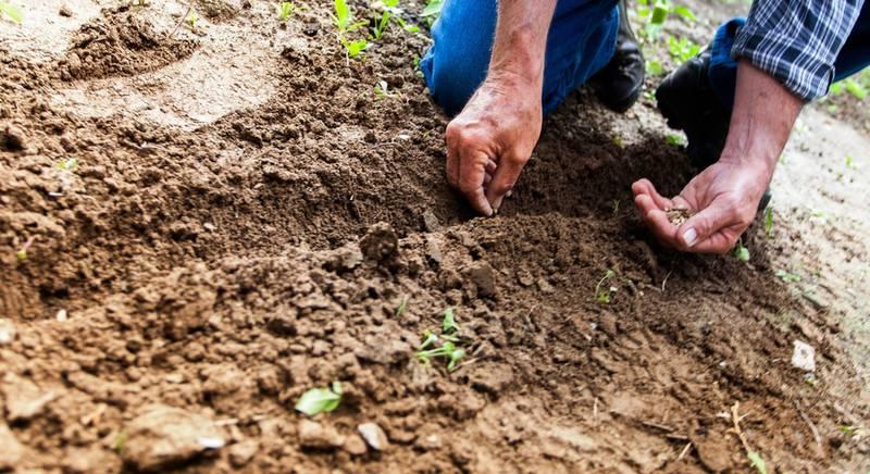 Что посеять в июне? Второй урожай, моркови, огурцов, свеклы, горошка