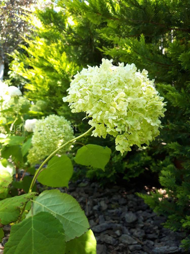 Роскошная гортензия в саду