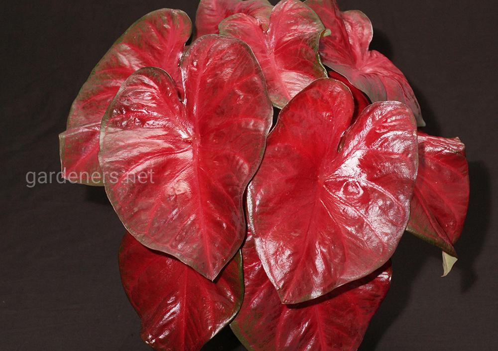 Caladium Red Hot