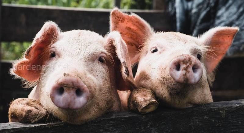 Падіння цін на живих свиней: хто спровокував і що робити?