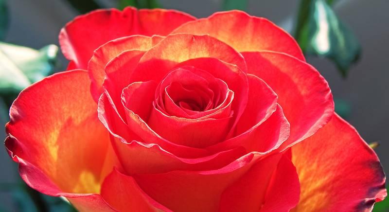 Роза – интересные факты