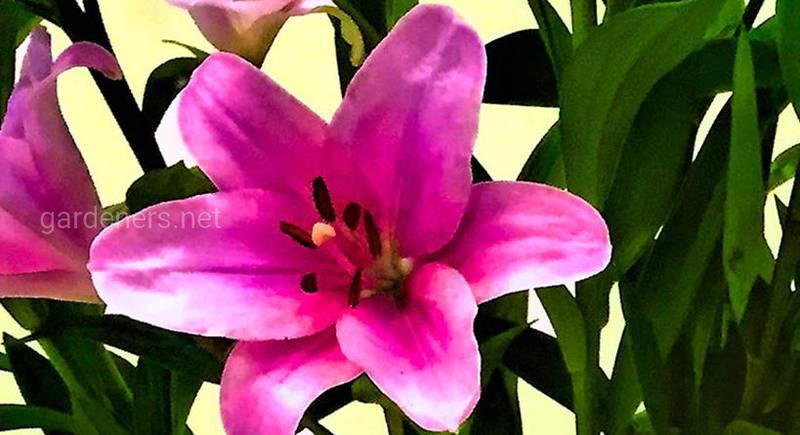Голубая лилия в парфюмерии и ароматерапии