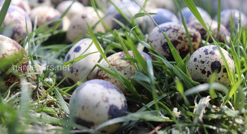 Инкубация яиц перепела