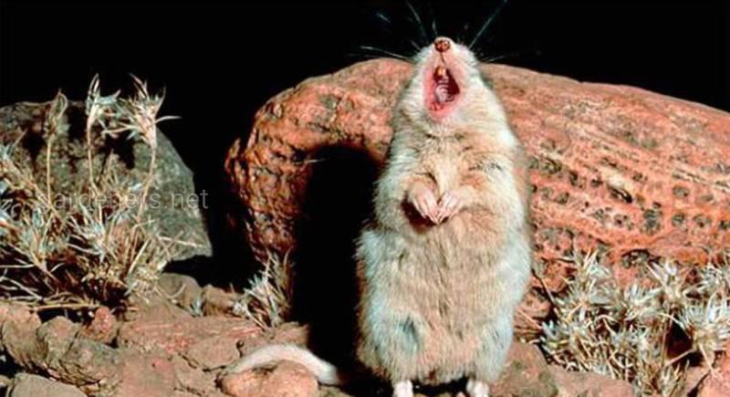 Мыши Алстона