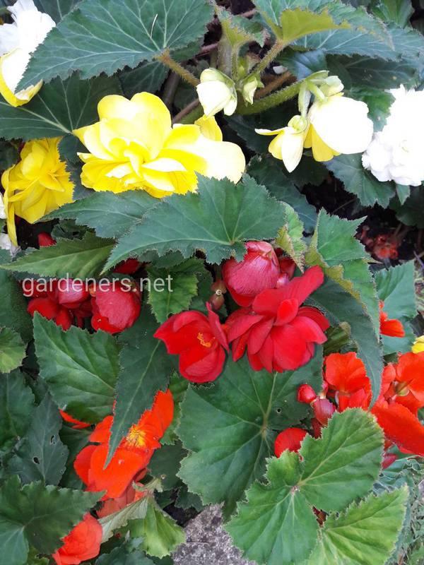 Які балконні квіти віддають перевагу затінку?