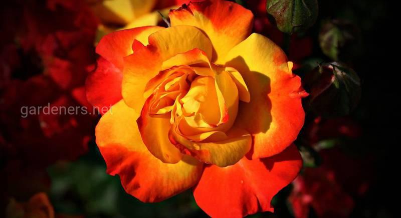 ТОП-5 обязательных работ с розами после первой волны цветения