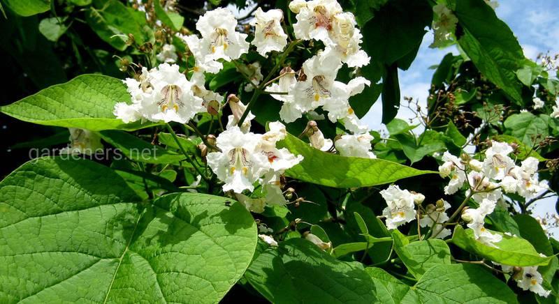 Катальпа: посадка и уход за эффектным, быстрорастущим декоративным деревом с орхидными цветками