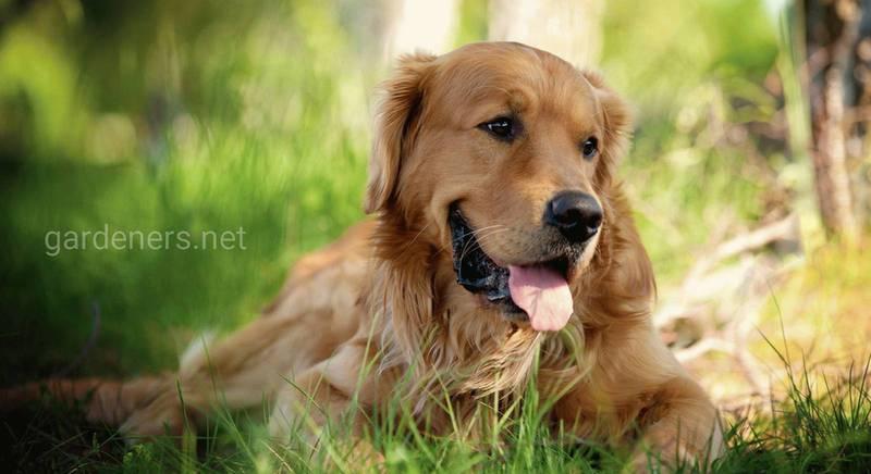 10 порід, які найкраще уживаються з іншими собаками
