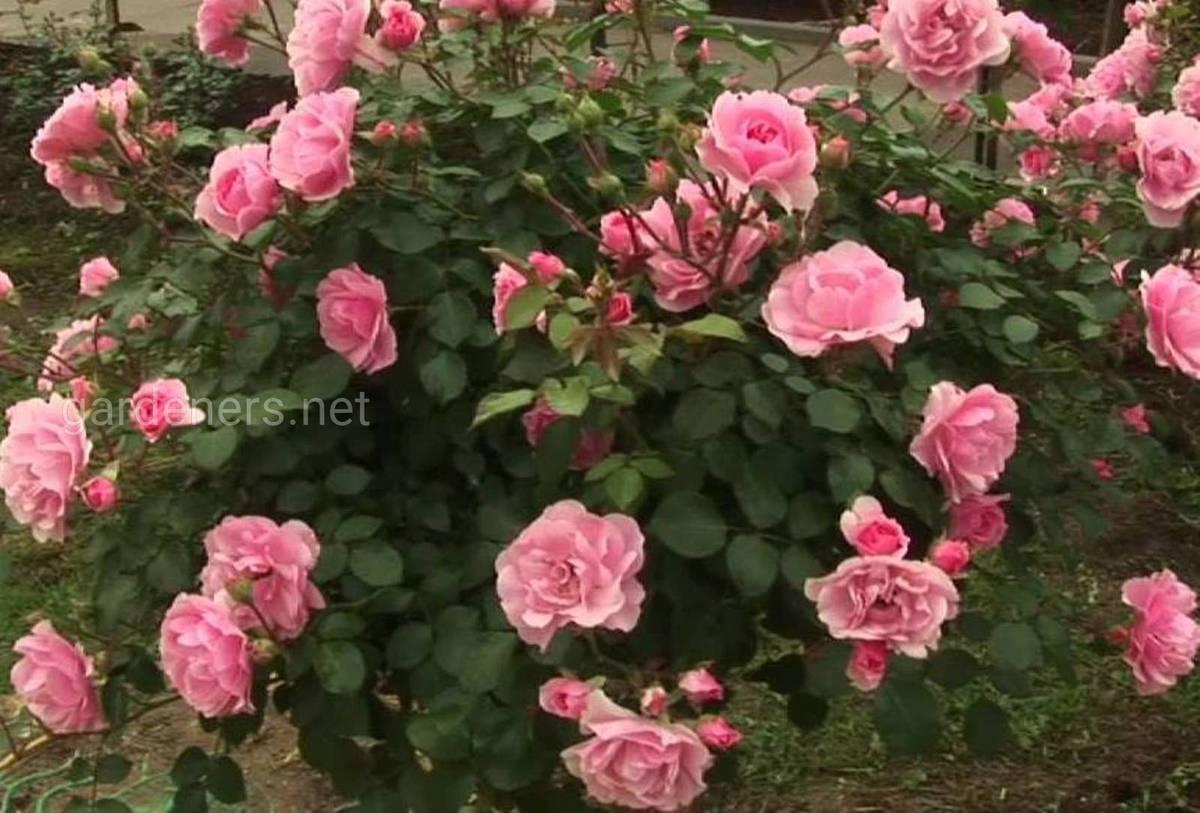 Плетистая роза «Climbing Bonica»