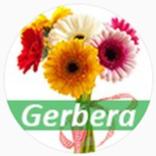 Gerbera - Доставка цветов и шариков