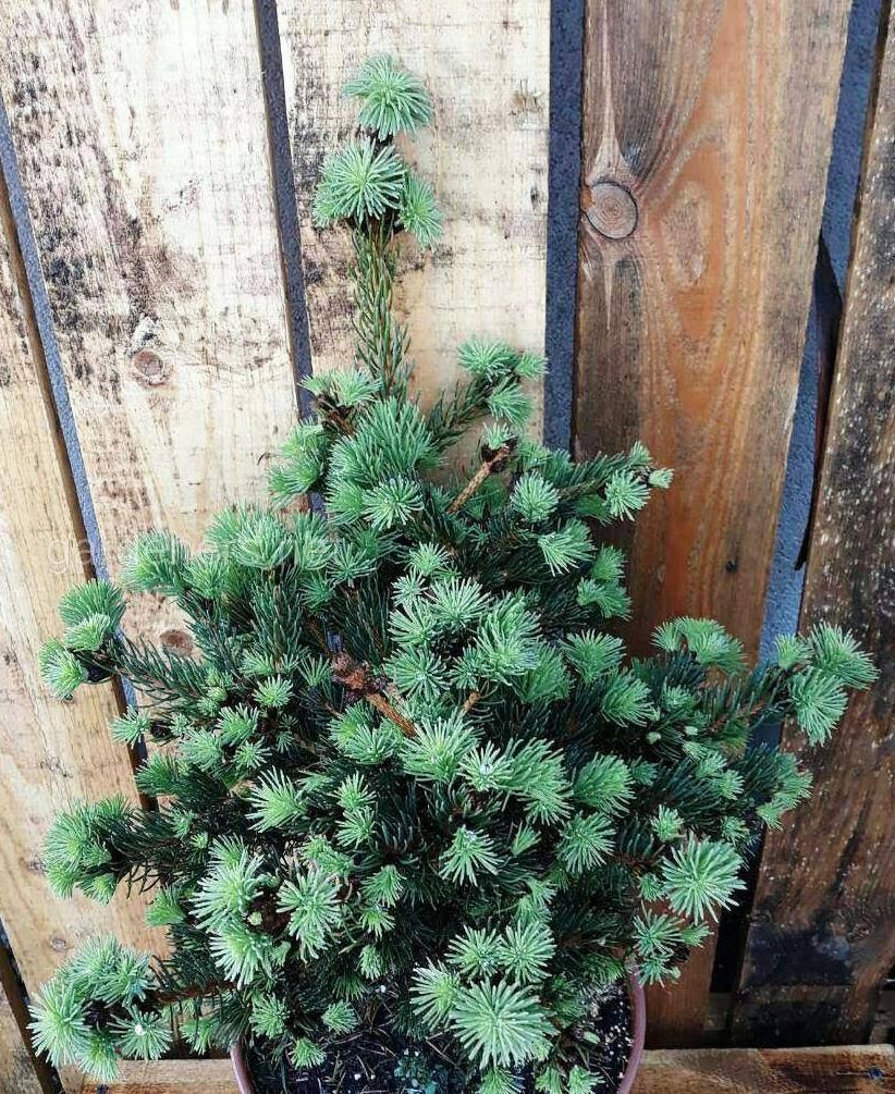 Сорт елки Lucky Strike.jpg