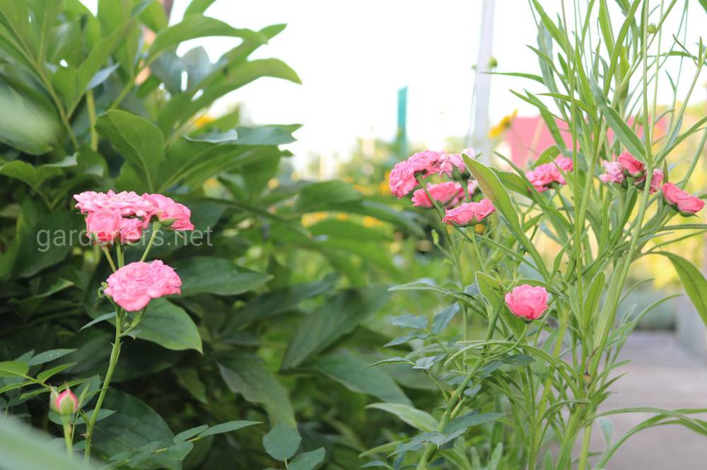 Чем удобрять декоративные растения в июле