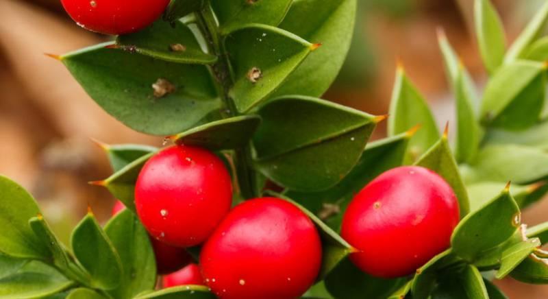 Иглица или рускус - многолетнее растение