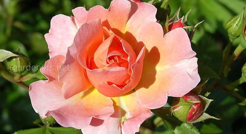 """Роза на штамбе: топ-7 сортов для выращивания """"розового дерева"""" вашей мечты"""
