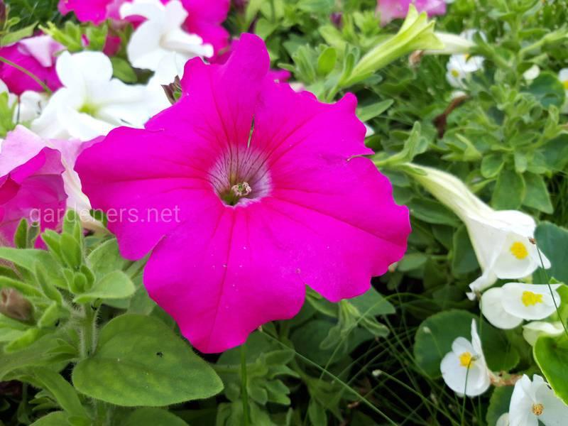 Як успішно вирощувати петунію?