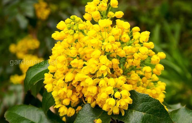 Які квіти мають аромат шоколаду?