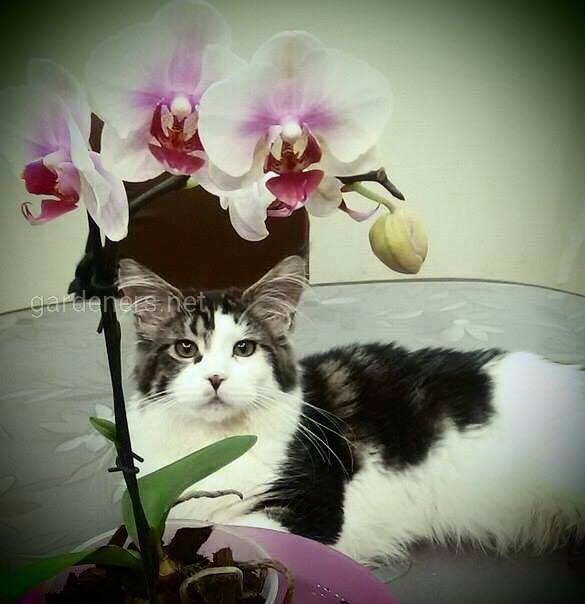 Кошачья орхидея
