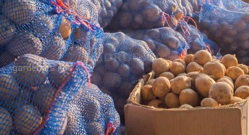 Як збирати та правильно зберігати картоплю?