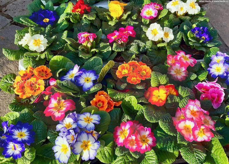 Посадите в саду первоцветы