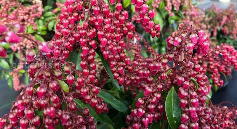 Сортова різноманітність садового пієрісу