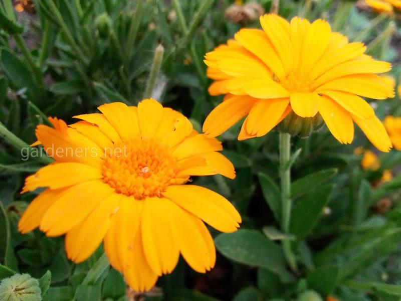 Календула лекарственное растение как для людей, так и для растений