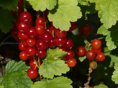 red-currant-1679641.jpg