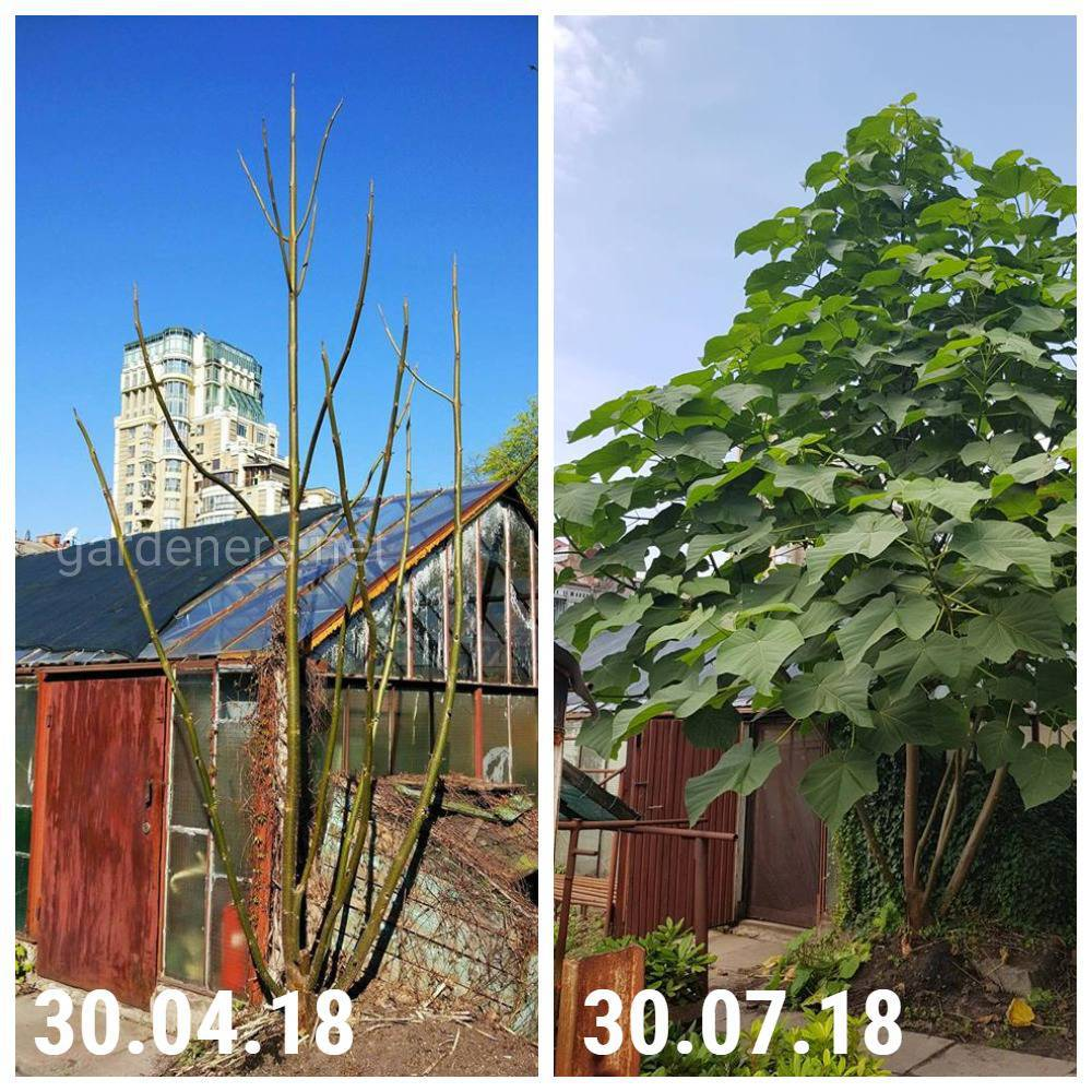 швидкість росту павловнії