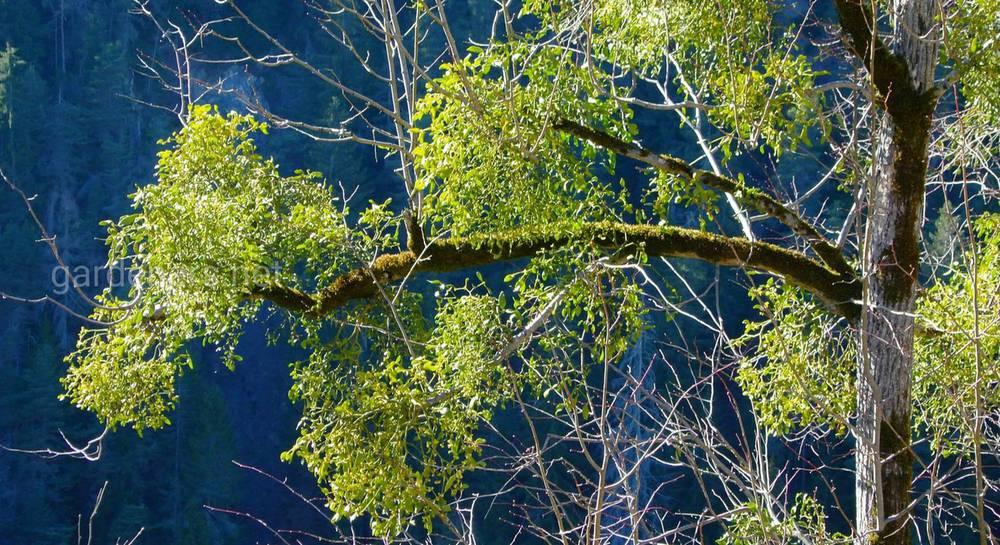 омела на дереве.jpg