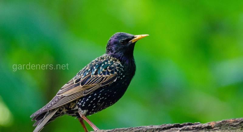 Птаха шпак