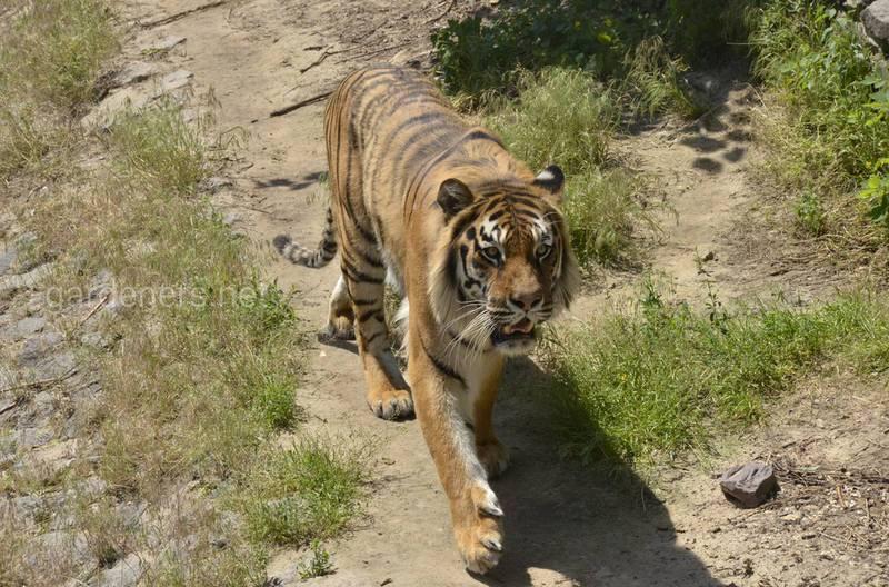 10 интересных фактов о тиграх