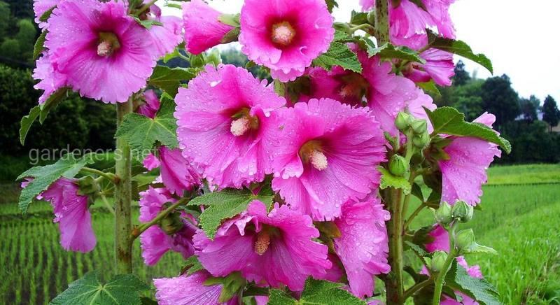 Види і сорти дивовижної шток-троянди