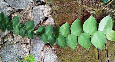 Выращивание рафидофоры в открытом грунте. Болезни и вредители рафидофоры