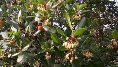 Земляничное дерево крупноплодное