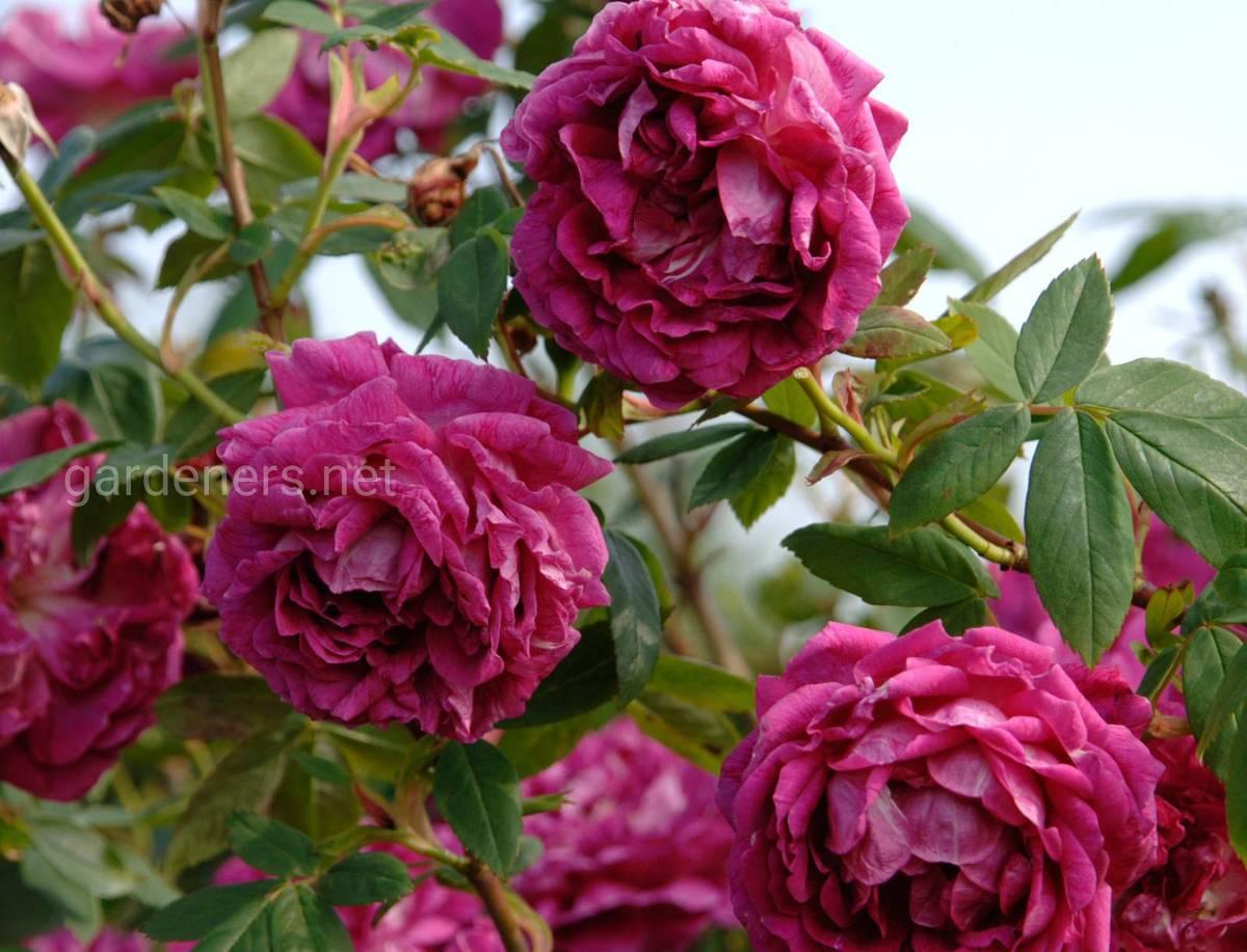розы Amadis