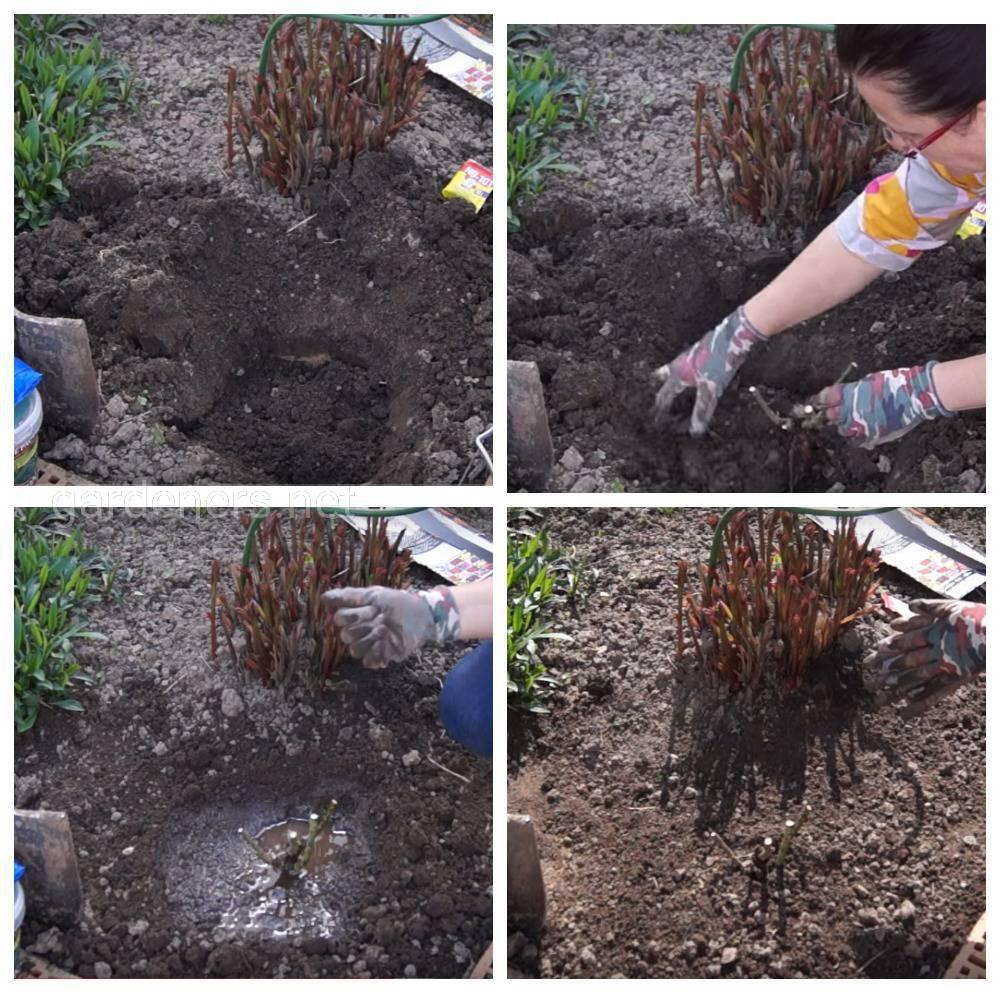 Особенности посадки растений с открытой корневой системой