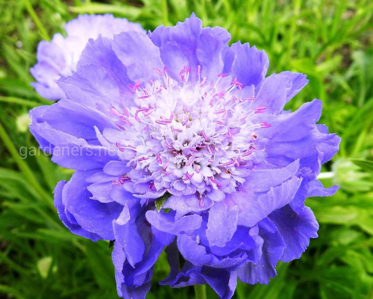 Scabiosa caucasica Ultra Violet