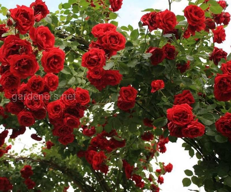 Как вырастить красивую и здоровую розу?