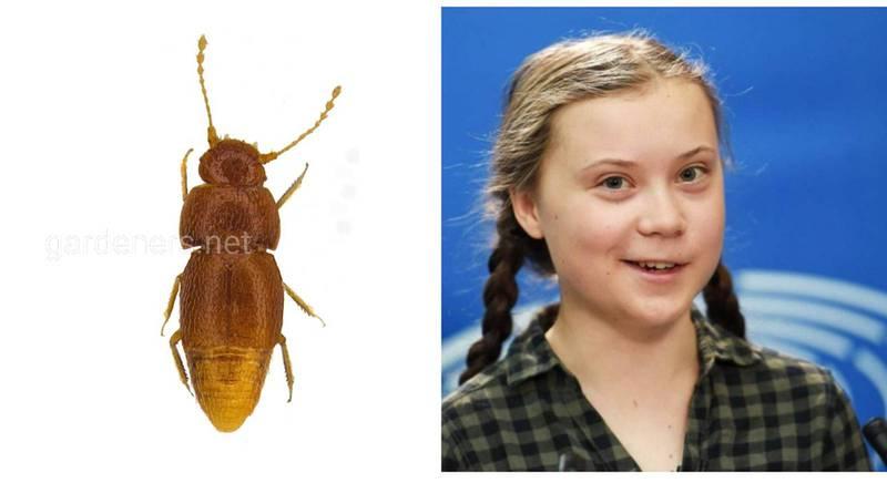 На честь шведської екоактивістки Грети Тунберг був названий новий вид жуків-перокрилок