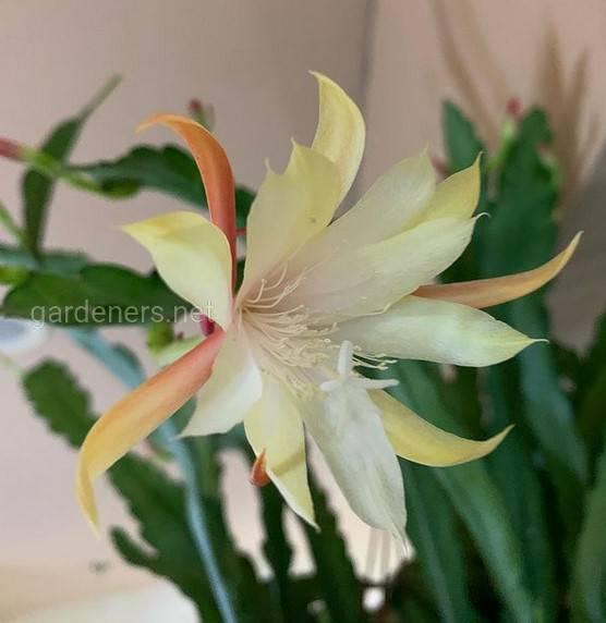 Epiphyllum floribundum