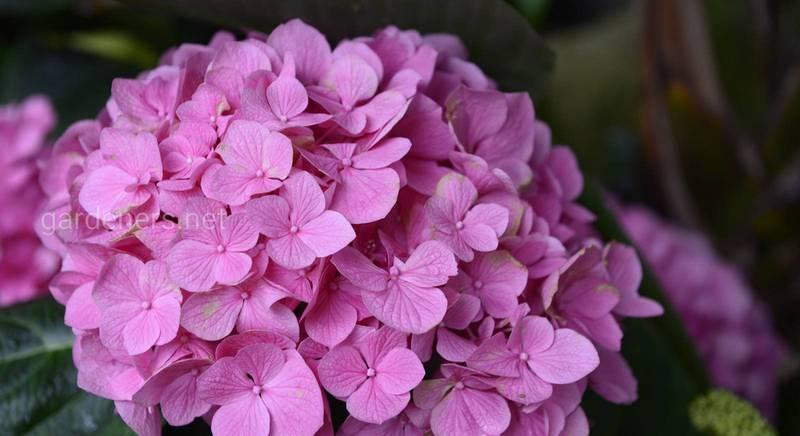 От чего зависит окрас цветов роскошной гортензи