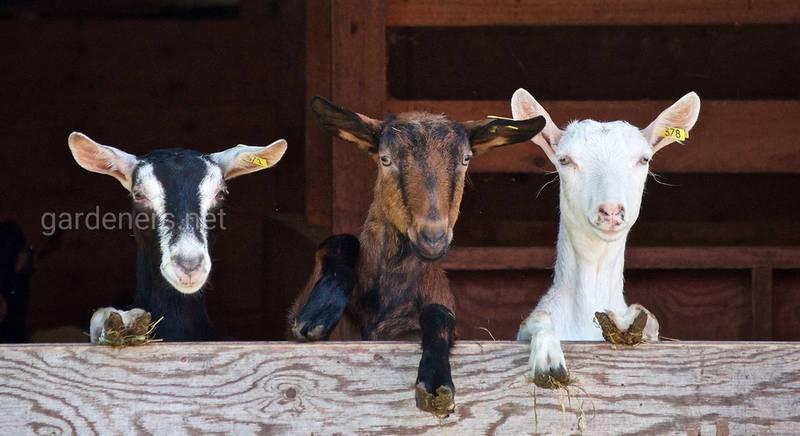 Чем кормить коз при выращивании в домашних условиях